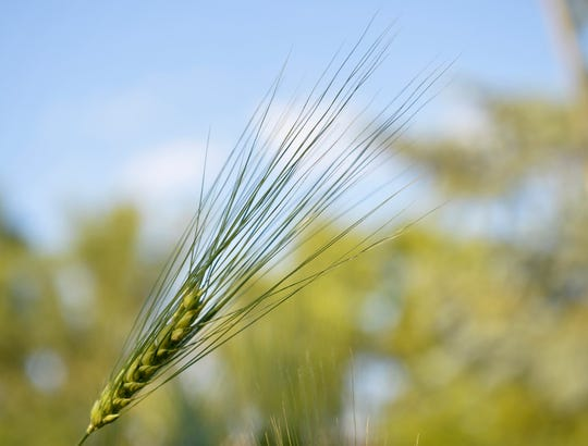 Barley growing in a test plot at the Pfeifle family farm in Power.  Ryan Pfeifle started a craft malting operation on the farm and hopes craft brewers will experiment more with barley varieties in their beers.