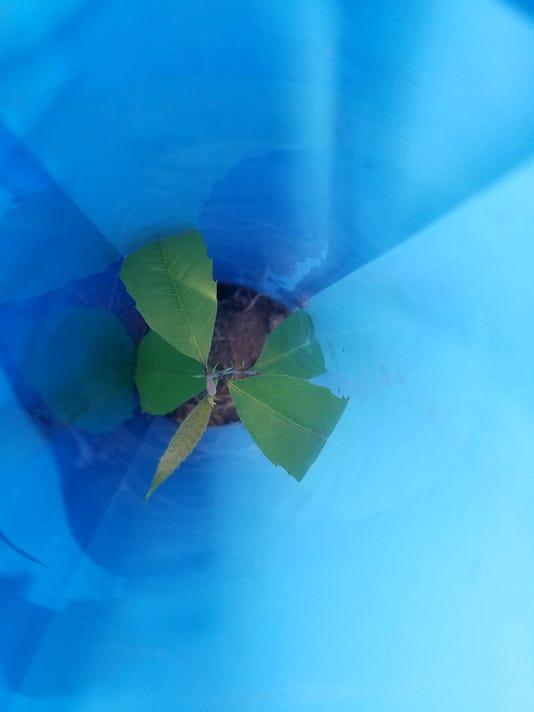 Chestnut Seedling May 2018