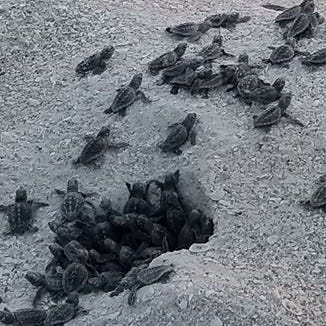 'Overflowing babies!' Baby sea turtles are hatching and crawling toward the Gulf across Collier