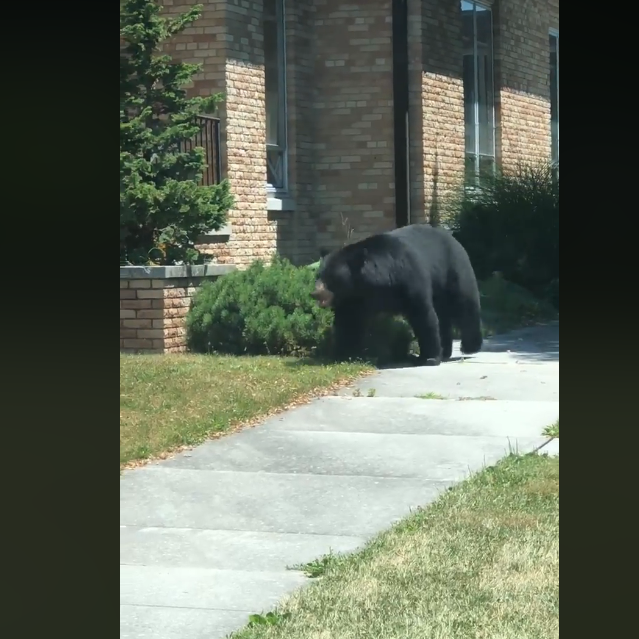 Black bear spotted wandering through Biglerville Borough