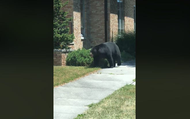 A Biglerville resident captures video of a bear wandering through the borough on July 20.
