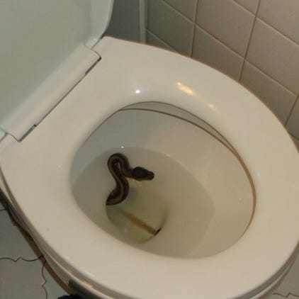 Python caught sneaking out of a toilet in Virginia