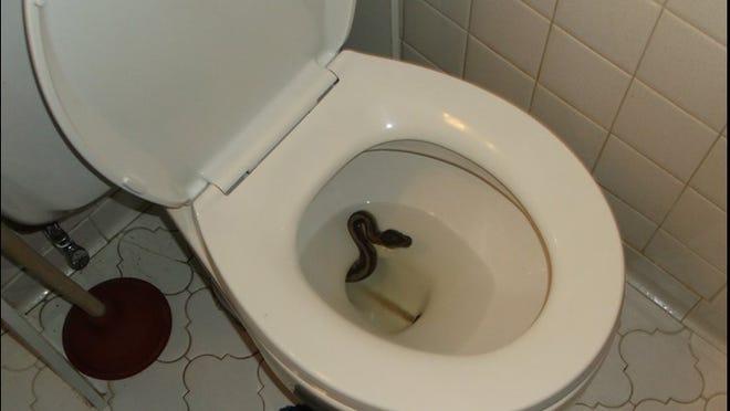 Virginia Beach resident James Hopper caught a snake slithering from his toilet Thursday night.