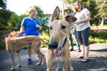 Stephanie and Steven White drove from Seattle to Newark to adopt five-year-old greyhound Walker from Greyhound Pet Adoptions of Delaware.