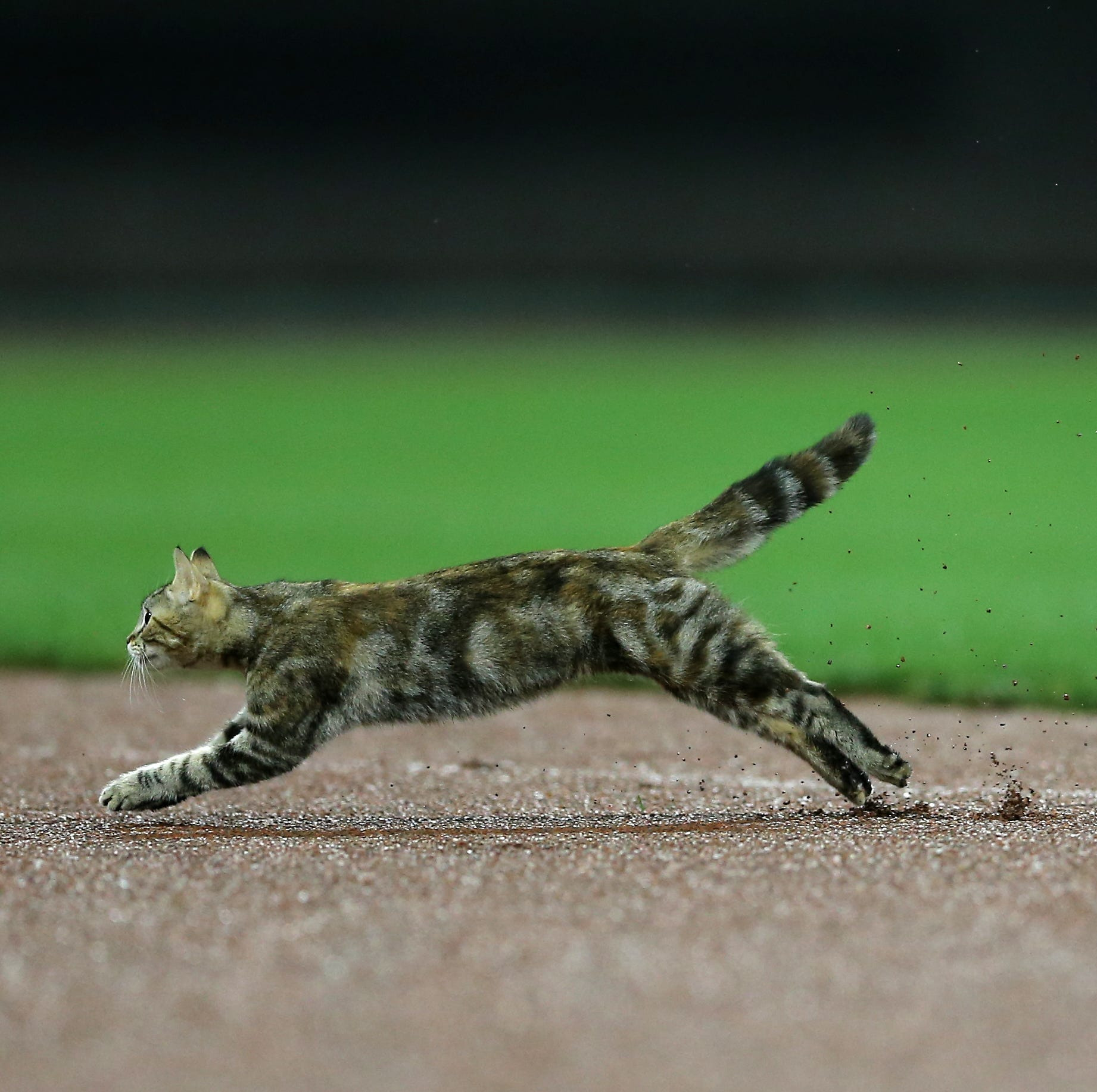 Cat running on field at GABP shows impressive speed