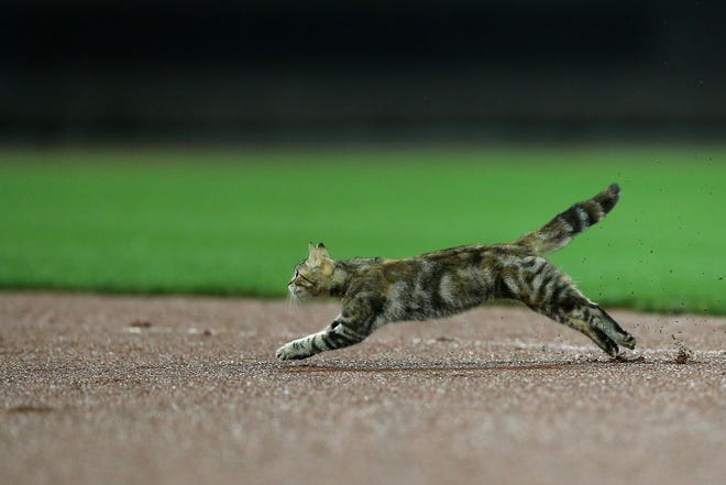 A cat runs onto the field in the fourth inning during a National League baseball between the Pittsburgh Pirates and the Cincinnati Reds, Friday, July 20, 2018, at Great American Ball Park in Cincinnati.