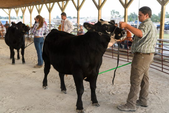 Parker Bowles shows his 1,068-pound steer Appollo during the Cattle Show's Open Intermediate Showmanship class at the Henderson County Fairgrounds, Friday evening, July 20, 2018.
