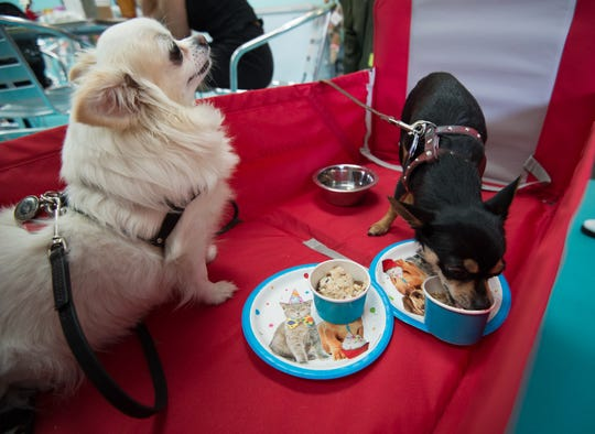 Tonks, left, a 7-year-old long hair chihuahua and Newt, a 4-year-old chihuahua enjoying ice cream at Salty Paws in Rehoboth.