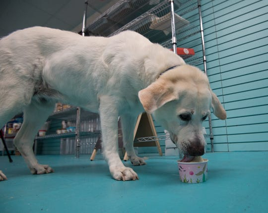Chelsea Cole a 11-year-old labrador from Rehoboth Beach enjoys a bowl of ice cream at Salty Paws in Rehoboth.