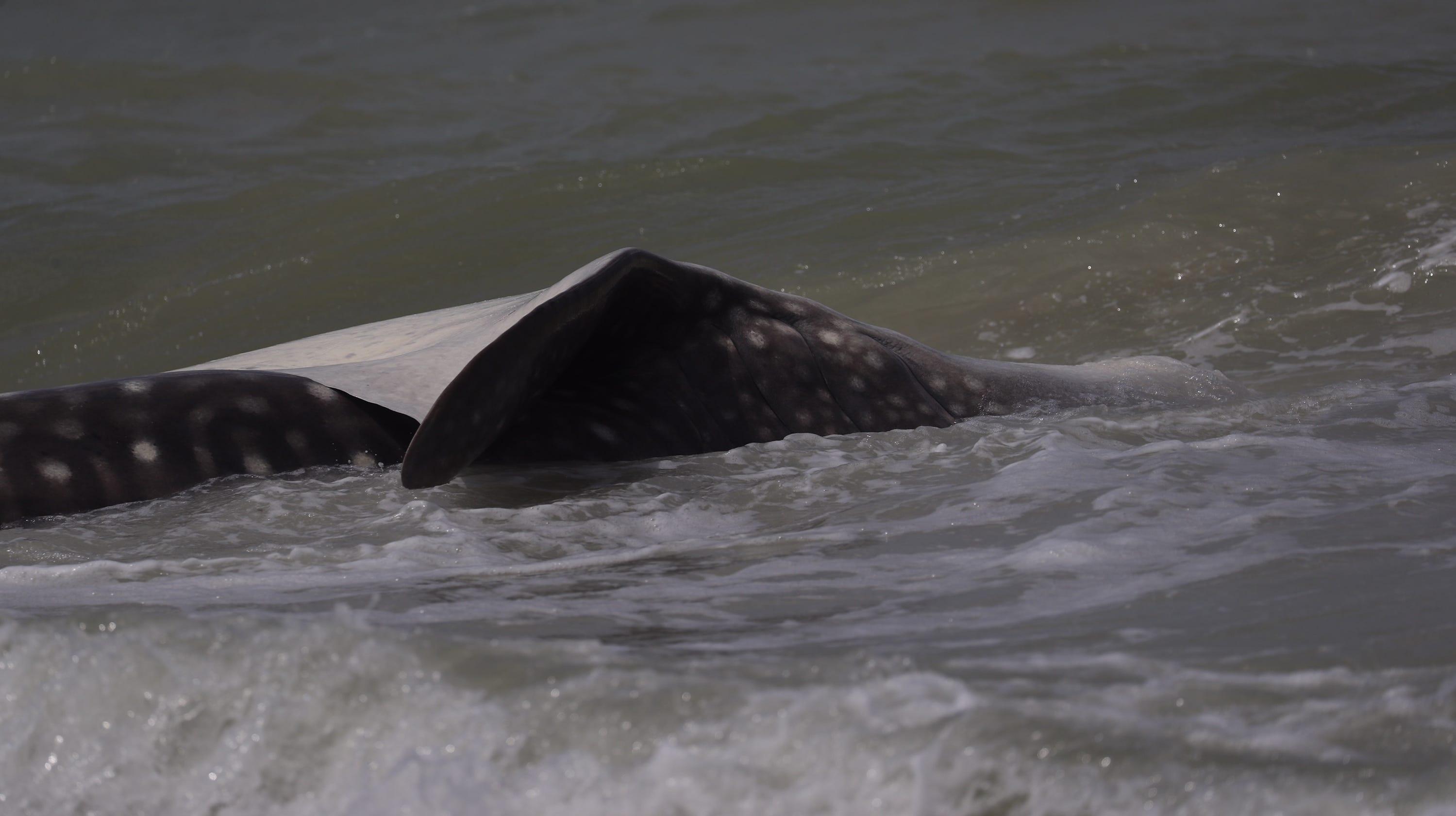 Whale shark carcass washes ashore on sanibel island florida altavistaventures Image collections