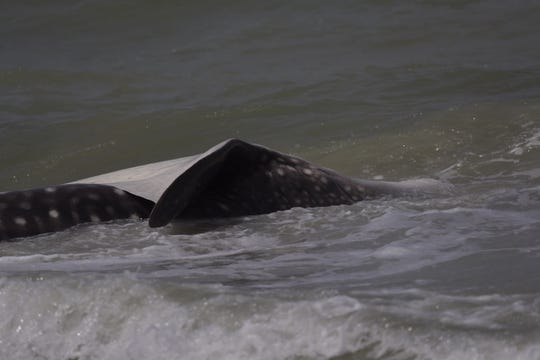 A dead whale shark has washed up on a Sanibel Beach on Sunday morning.