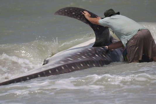 Whale Shark001