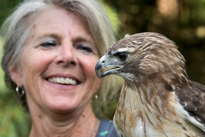 "Mitzi Eaton with a red-tailed Hawk, ""Little Guy,"" who is an educational bird because it could not survive if released into the wild. For 30 years, Eaton, has been York County's lifeline for injured and ill birds of prey at her home in Lower Windsor Township."