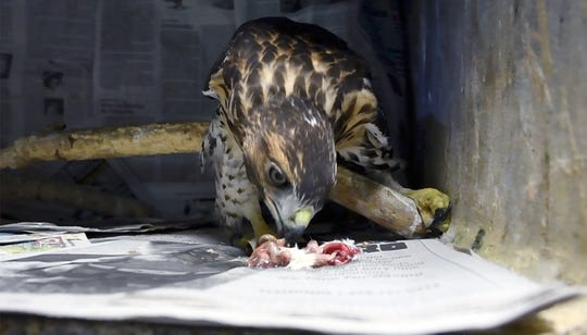 A Red-tailed Hawk eats cut up mice as it is rehabilitated by Mitzi Eaton. For 30 years, Mitzi Eaton, has been York County's lifeline for injured and ill birds of prey at her home in Lower Windsor Township.