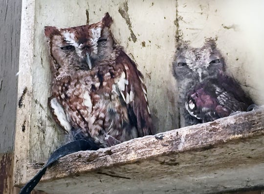 Drowsy Screech Owls during the mid-day heat inside the box of their enclosure. For 30 years, Mitzi Eaton, has been York County's lifeline for injured and ill birds of prey at her home in Lower Windsor Township.