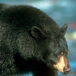 Group wants federal program to stop killing thousands of wild animals annually in Shasta County