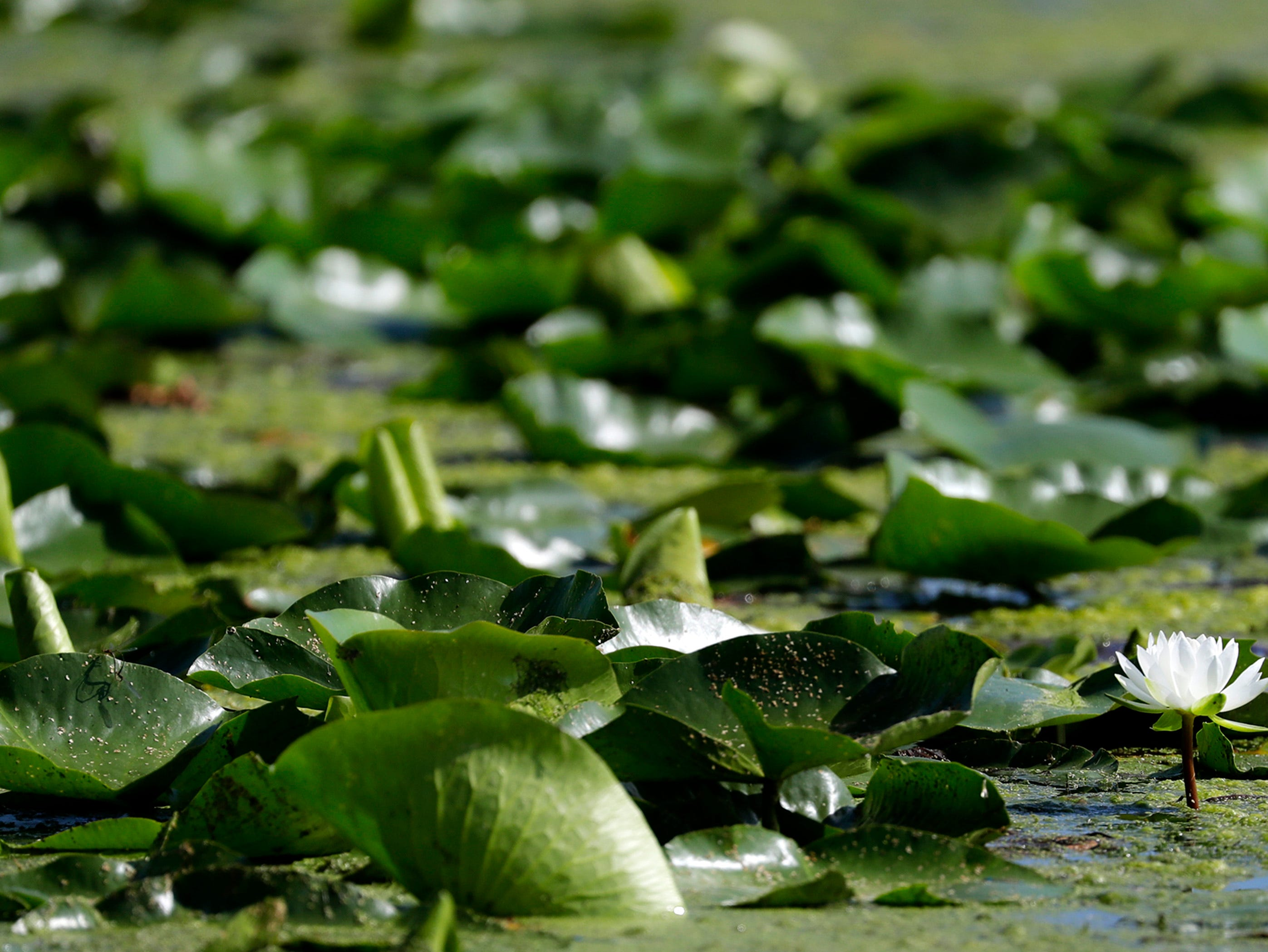 A water lily blooms among algae near the Menasha Lock Monday, July 16, 2018, in Menasha, Wis. The organizers of the annual Park-to-Park Paddle event decided to change the route to avoid the algae and weeds in the area near the lock. They will get out of the water near the Racine Street bridge and haul kayaks and canoes over the former site of Gilbert Paper.