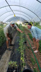 Roger and Mary Winstead harvest cherry tomatoes growing in their poly tunnels at their farm on Oak Grove Rd.