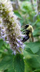 This bee thinks anise hyssop from Beautiful Edibles is pretty tasty