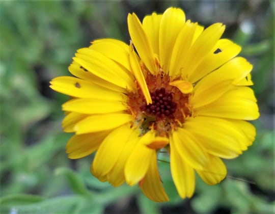 Calendula is known for soothing properties, and is used in cooking and beauty products.