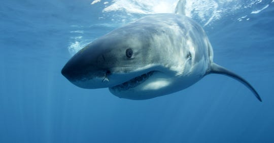"""FILE - In this undated file publicity image provided by Discovery Channel, a great white shark swims near Guadalupe Island off the coast of Mexico. The Discovery network special """"Megalodon: The Monster Shark Lives,"""" opened Discovery's annual """"Shark Week"""" on Sunday, Aug. 4, 2013. With an estimated 4.8 million viewers, it had the largest audience of any show in the 26 years that Discovery has made """"Shark Week"""" a part of its summer programming, the Nielsen company said."""