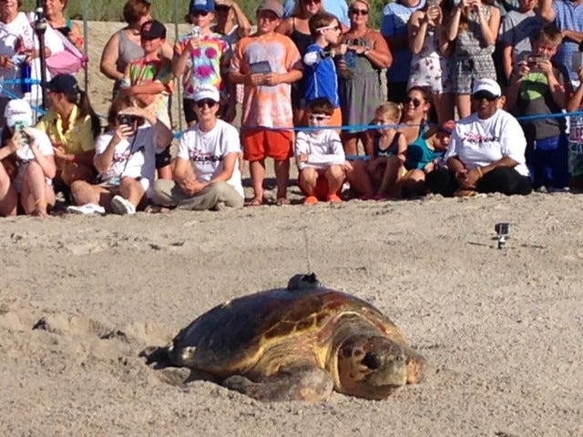 Two turtles names Cruz (pictured) and Sally, were released in 2017 from Disney's Vero Beach Resort. So far, Sally has traveled more than 1100 miles in 335 days, while Cruz has traveled 742 miles.