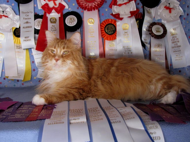 Grand Premier Majmanes Poco Taz Beauregards Karma, otherwise known as Poco, poses with his many awards from cat shows over the years.