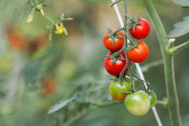 Cherry tomatoes grown in a hydroponics greenhouse at the Felege Hiywot Center in Indianapolis, Tuesday, July 24, 2018. The center will deliver produce to Chefs for Hire, which will package the meals to be served in Indy Parks food programs. The first harvest of cherry tomatoes was recently included in meals for Garfield Park summer day camp kids.