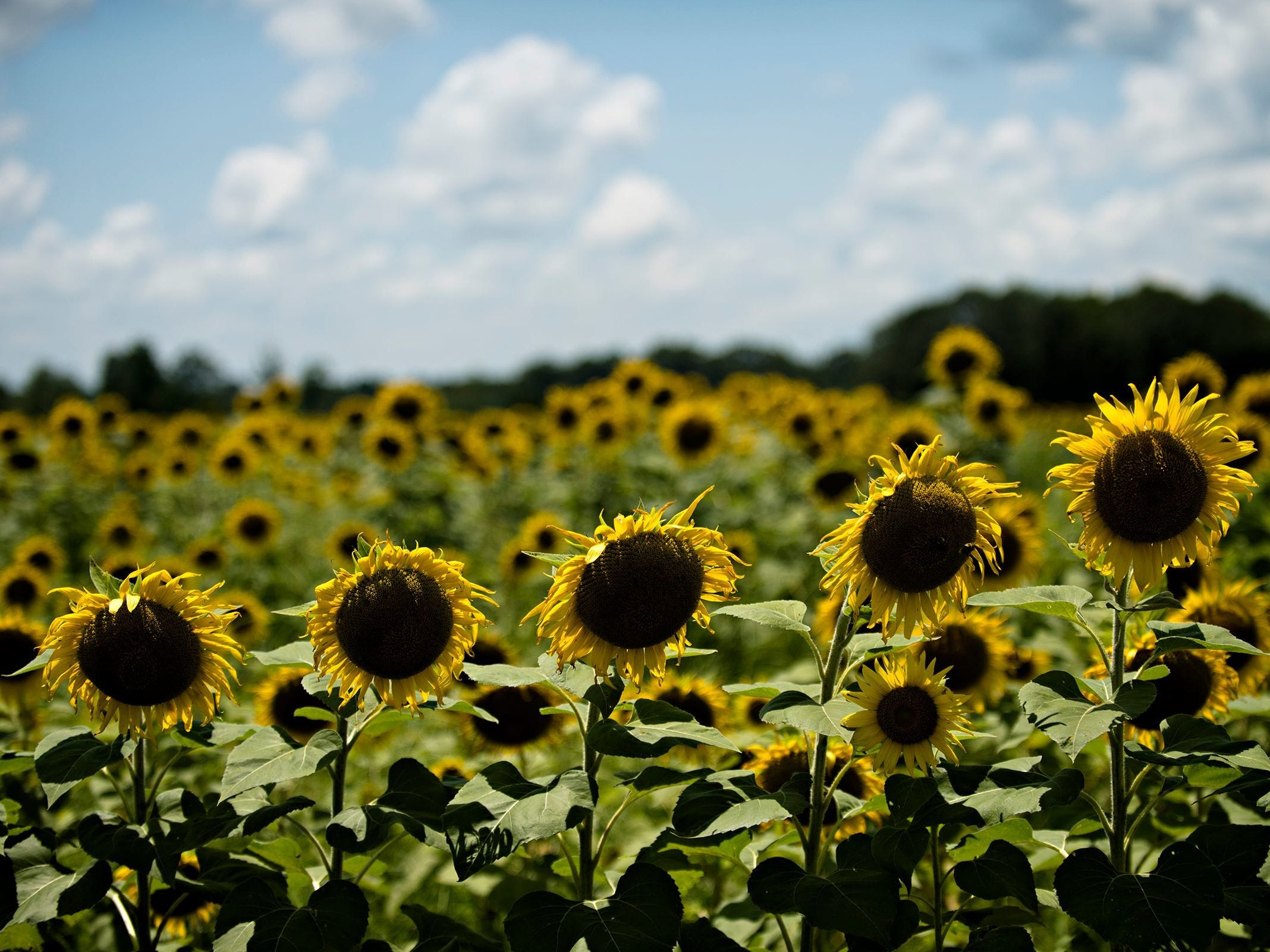 Sunflowers grow in The Sunflower Field on the family farm of Todd and Kim Sheridan in Autauga County on July 18, 2017.