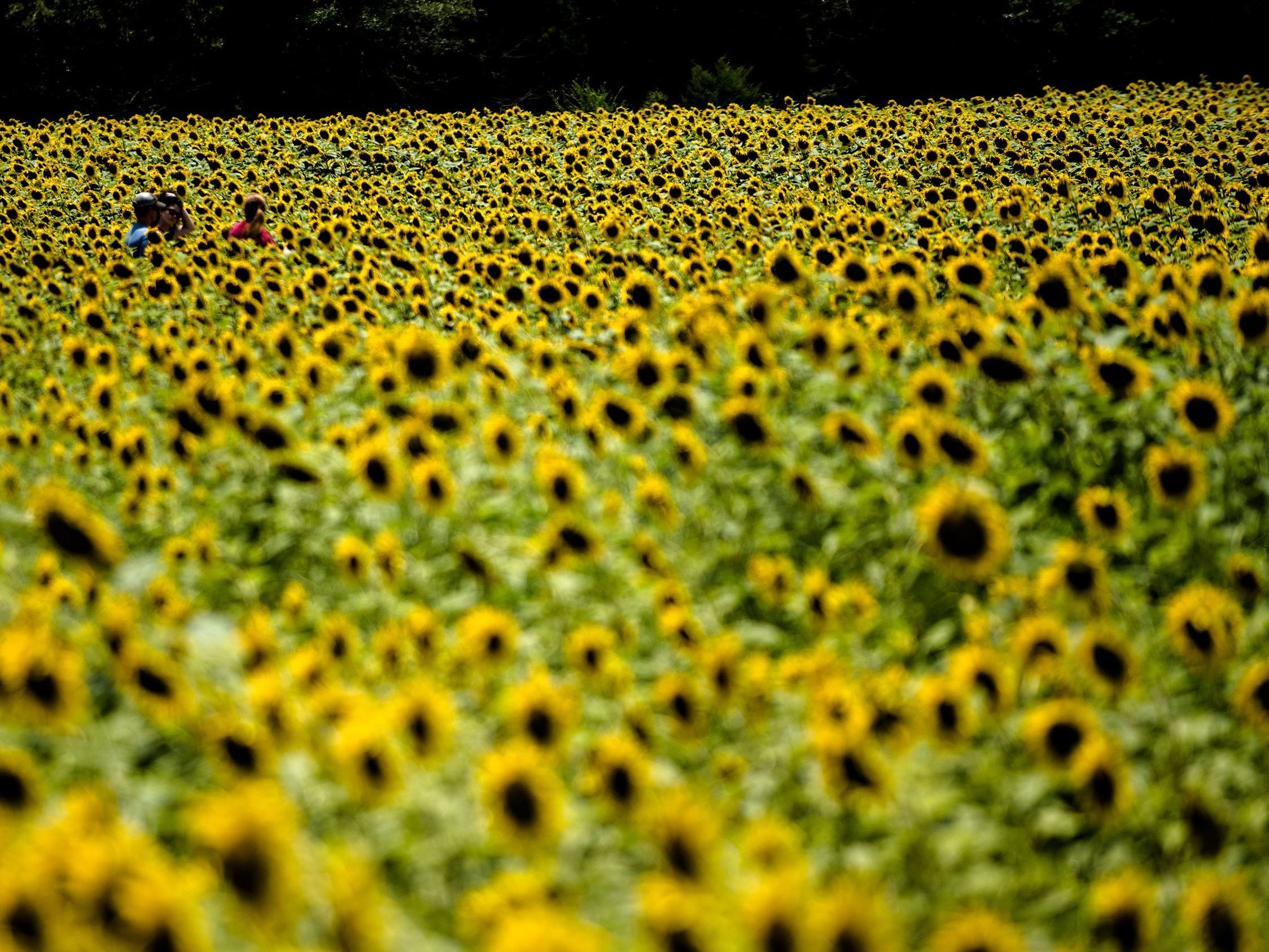 People walk through The Sunflower Field on the family farm of Todd and Kim Sheridan in Autauga County on July 18, 2017.