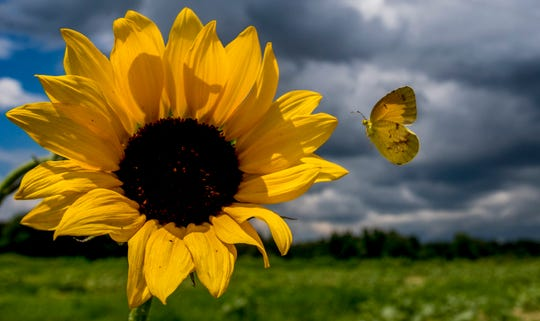 A butterfly lands on one of the few sunflowers blooming in Todd Sheridan's sunflower field near Autaugaville, Ala., on Tuesday, July 24, 2018. Sheridan had to replant the popular field, so it is not expected to bloom until August.