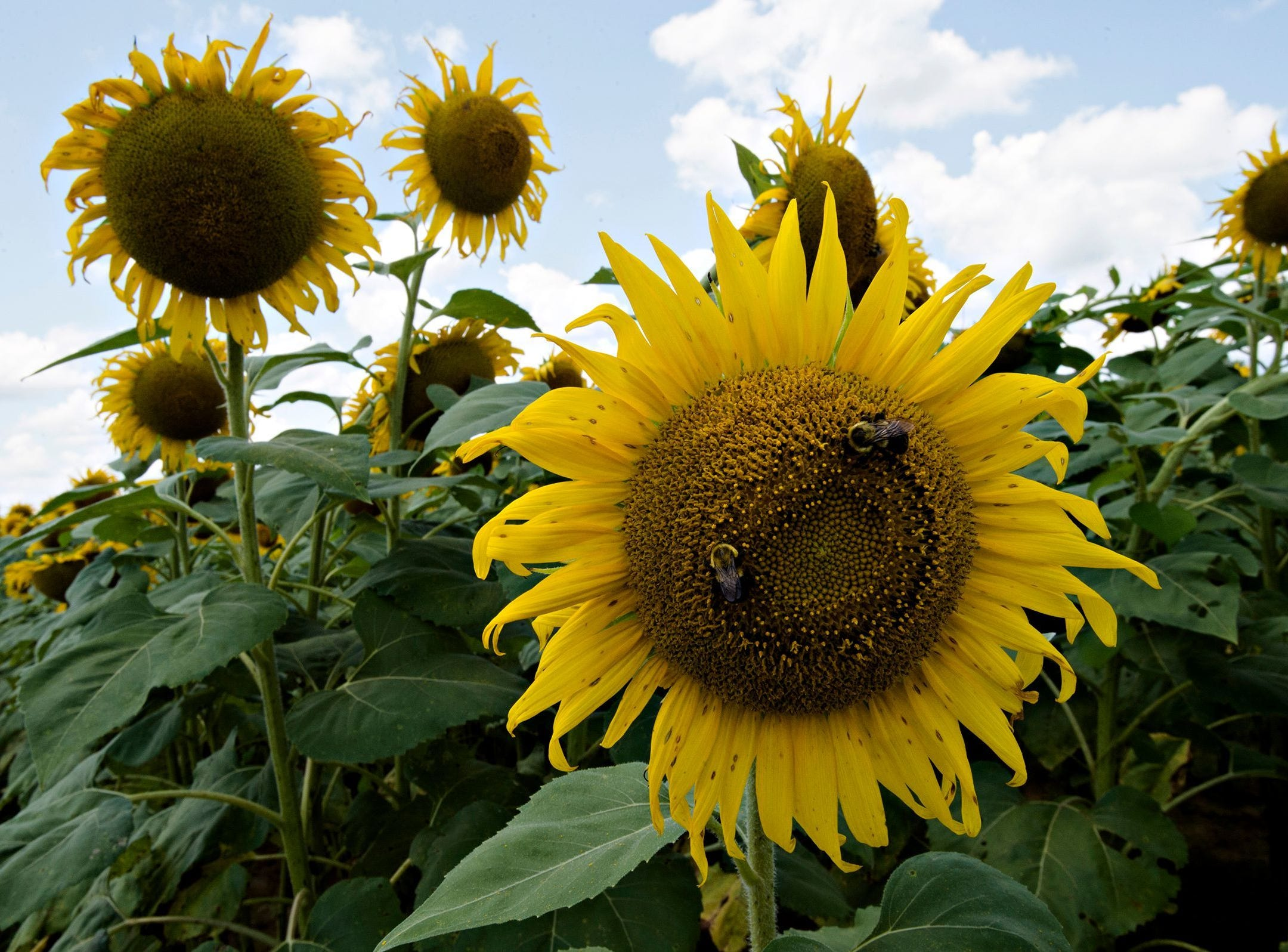Sunflowers grow in The Sunflower Field on the family farm of Todd and Kim Sheridan in Autauga County on July 18.