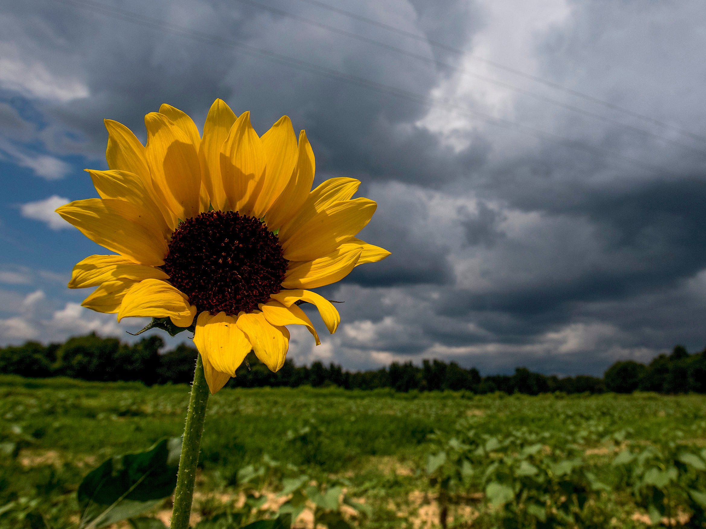 One of the few sunflowers that is blooming in Todd Sheridan's sunflower field near Autaugaville, Ala., on Tuesday, July 24, 2018. Sheridan had to replant the popular field, so it is not expected to bloom until August.