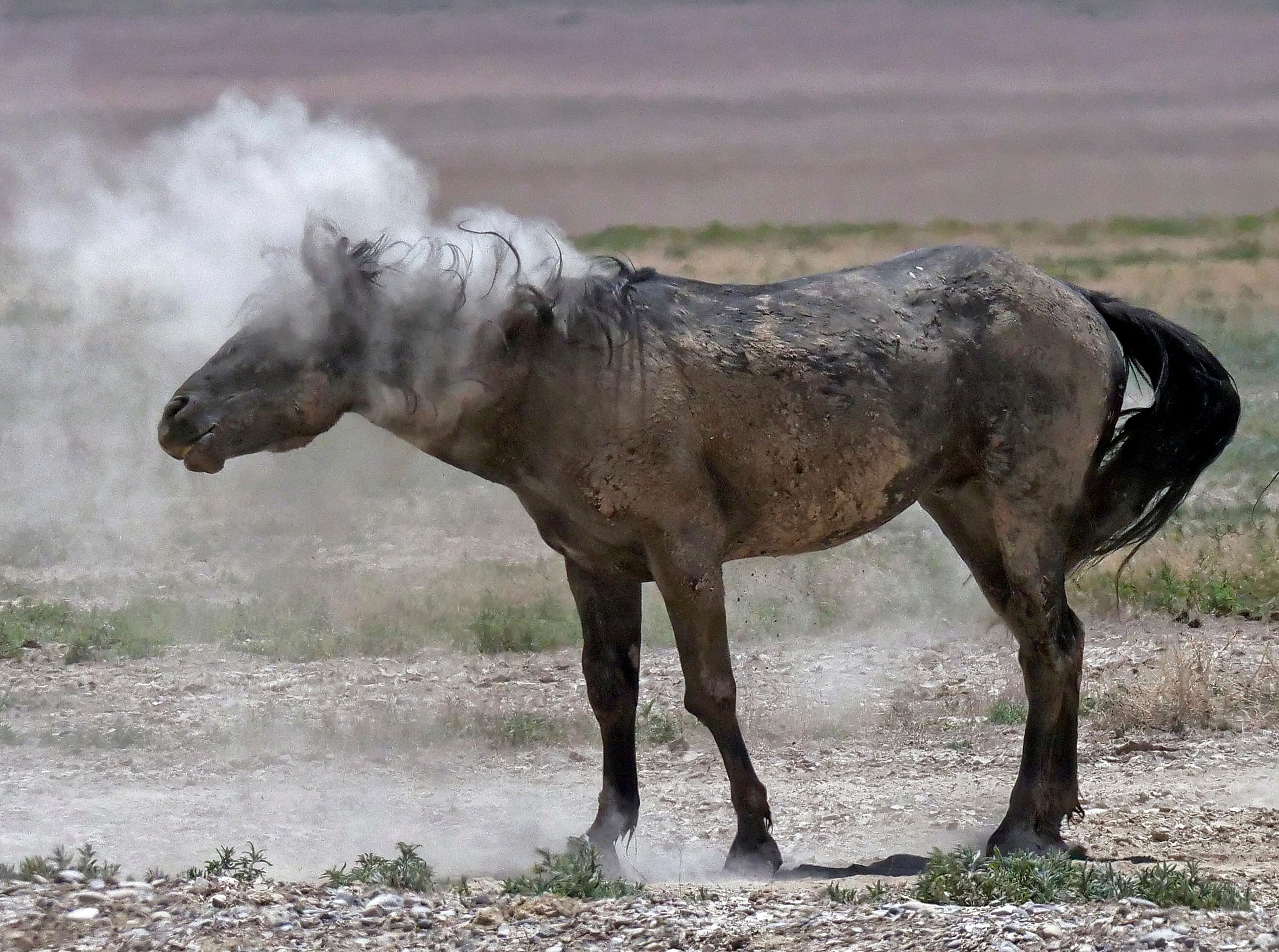 In this June 29, 2018 photo, a wild horse shakes off dust near a watering hole outside Salt Lake City. Harsh drought conditions in parts of the American West are pushing wild horses to the brink and forcing extreme measures to protect them.