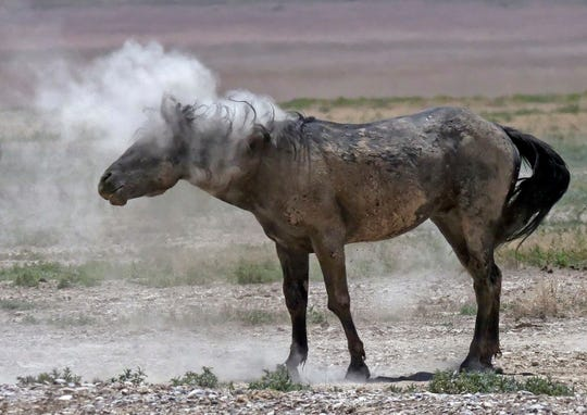 A wild horse shakes off dust near a watering hole outside Salt Lake City on June 29.