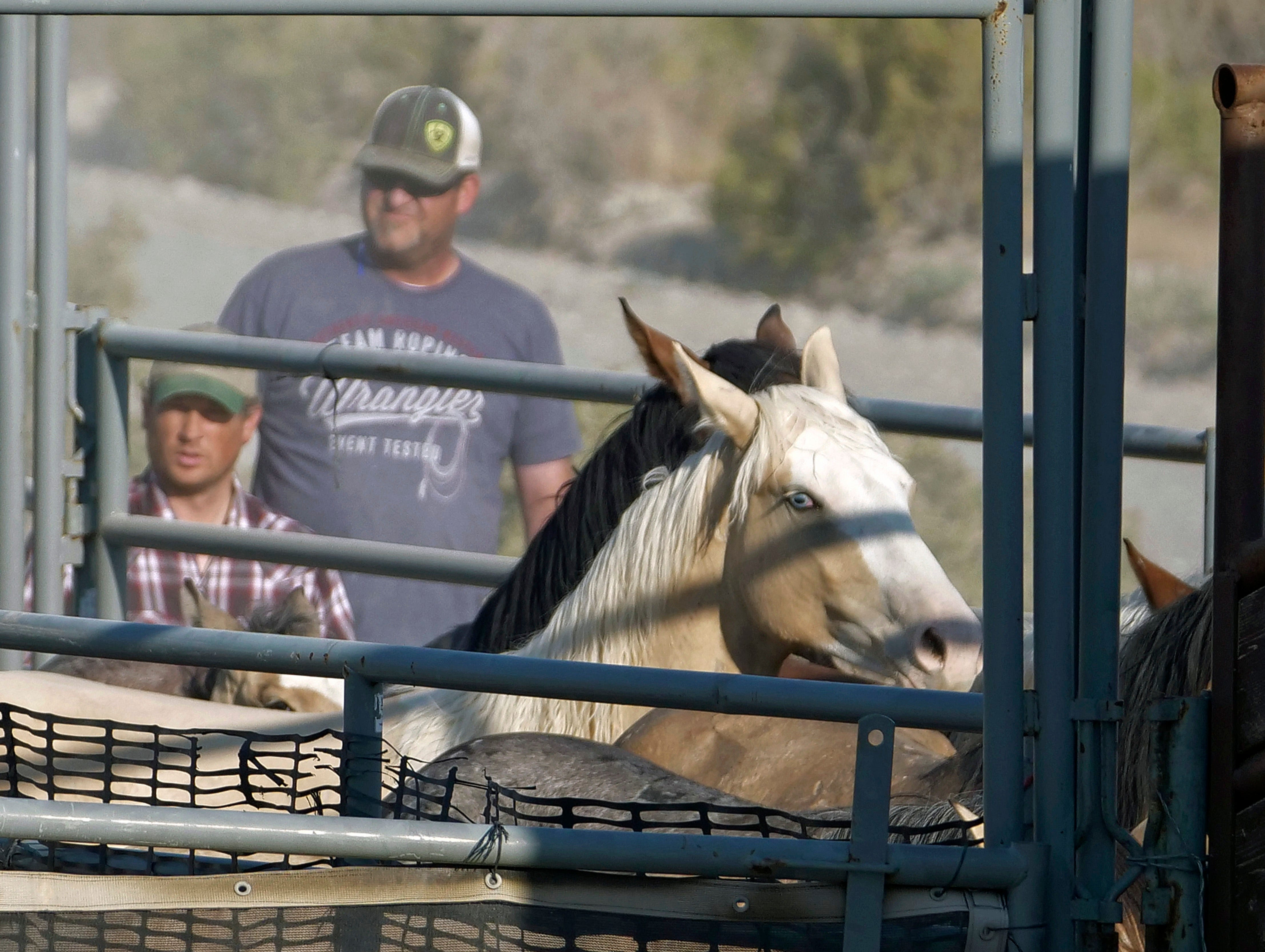 Wild horses are held in a temporary pen after being rounded up the night before due to insufficient water to sustain them, near Salt Lake City.