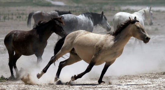 In this Friday, June 29, 2018 photo, wild horses kick up dust as they run at a watering hole outside Salt Lake City.
