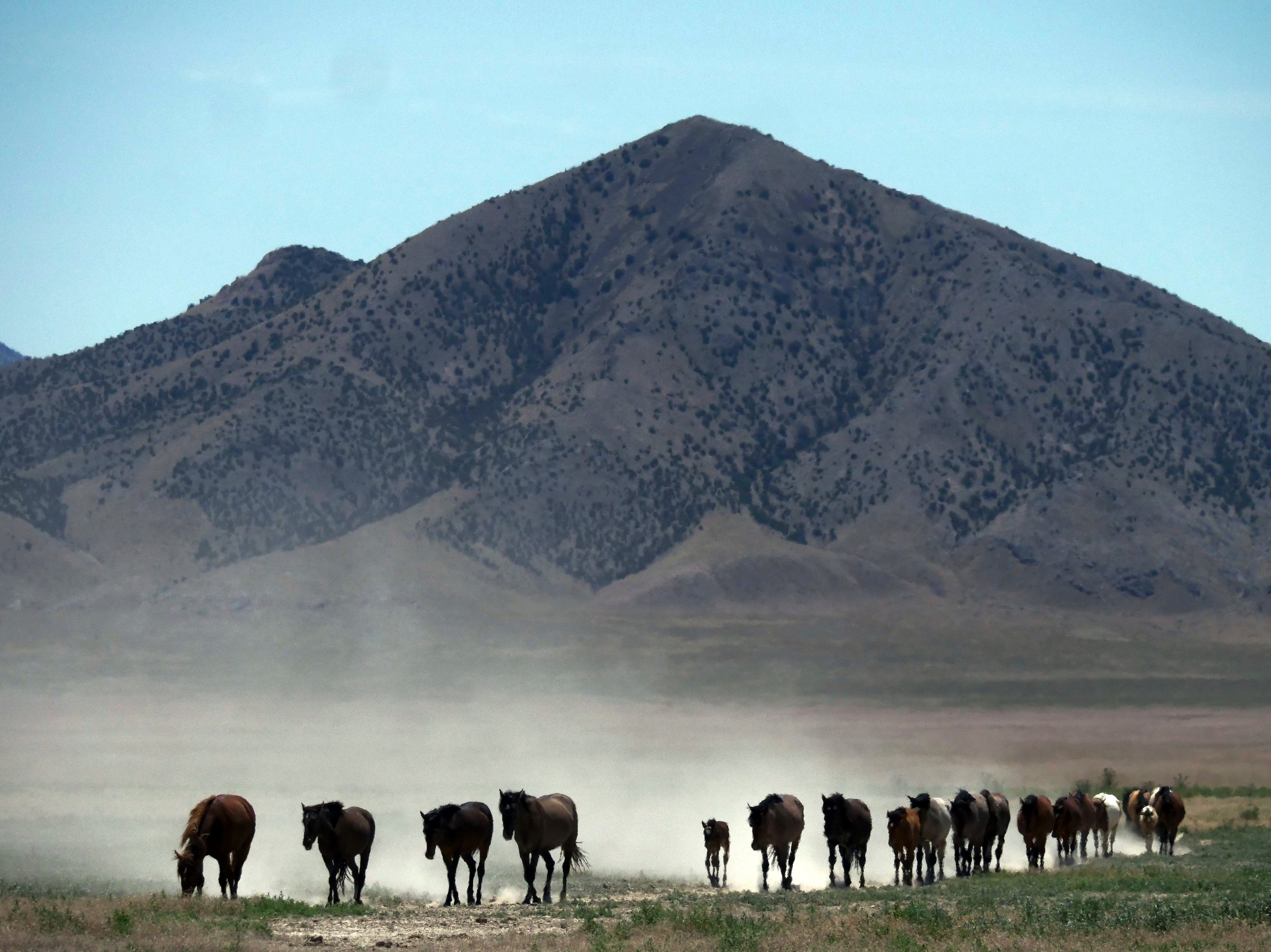 In this June 29, 2018, photo, wild horses walk to a watering hole outside Salt Lake City.