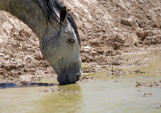 A wild horse drinks from a watering hole outside Salt Lake City in this Wednesday, July 18, 2018 photo.