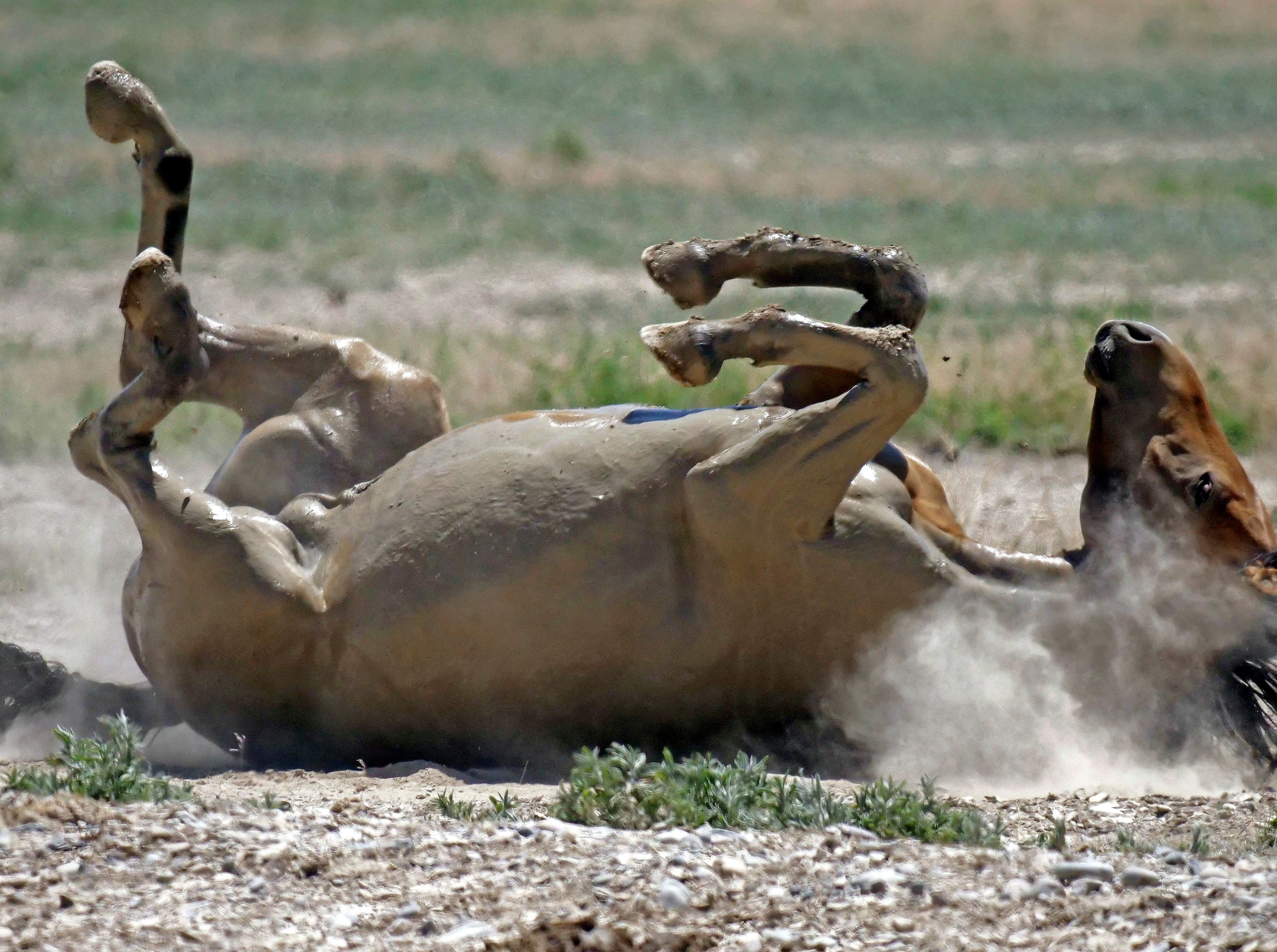 A wild horse rolls in the dust after drinking from a watering hole outside Salt Lake City in this June 29, 2018 photo .