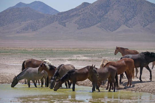 In this June 29, 2018 photo, wild horses drink from a watering hole outside Salt Lake City.