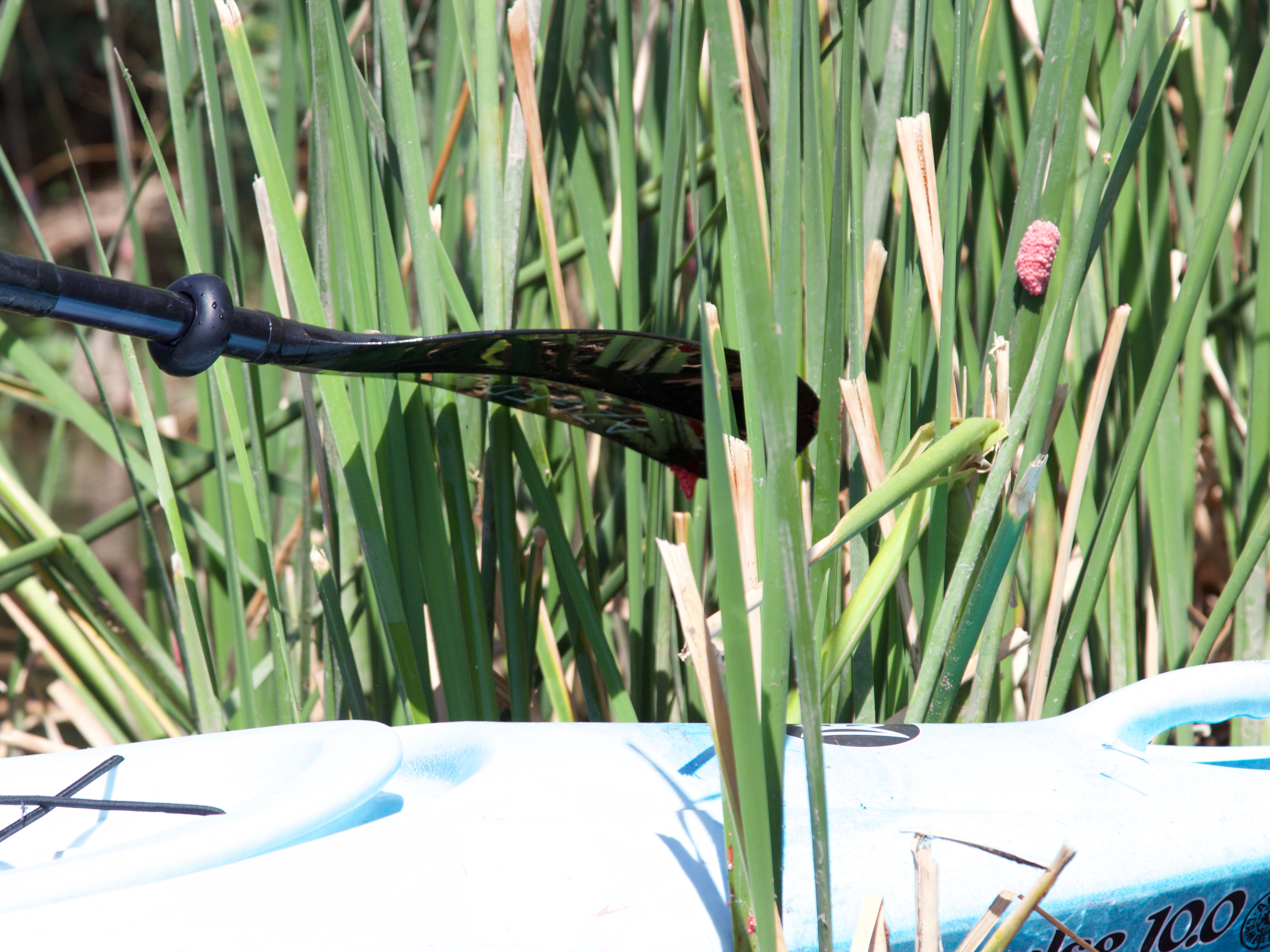 Biologists recommend knocking the bright pink clusters of invasive apple snail eggs off cattail reeds and into the water to stop the species from spreading.