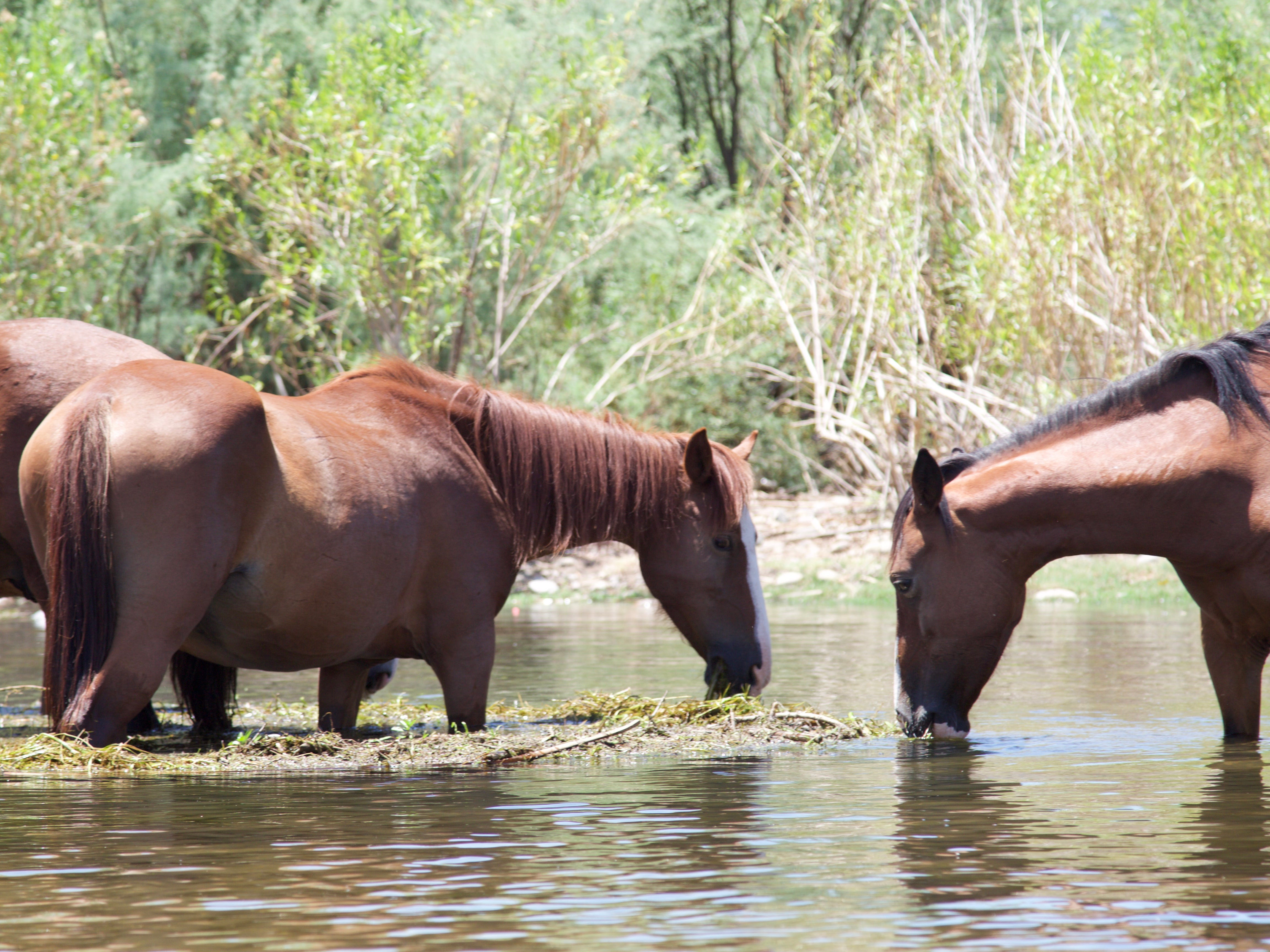 Horses stand in the Salt River on July 20, 2018.