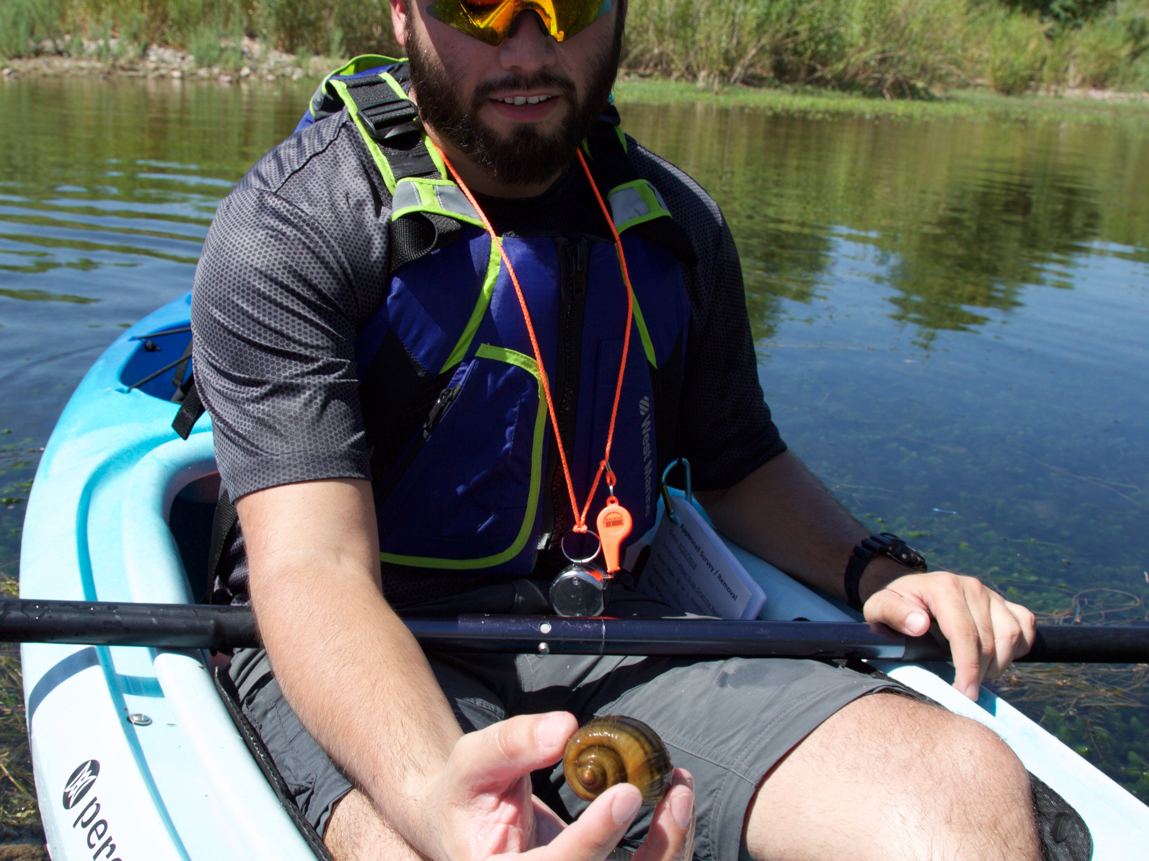 Israel Garcia, a biologist at the Arizona Game and Fish Department, pulls an invasive apple snail from the backwaters of the Salt River on July 20, 2018.