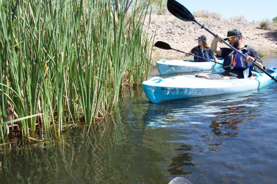 Israel Garcia (right), a biologist at the Arizona Game and Fish Department, and Kayla Wrolson, an intern for the department, paddle into a stand of cattail reeds to knock invasive apple snail eggs into the water on the Salt River on July 20, 2018.