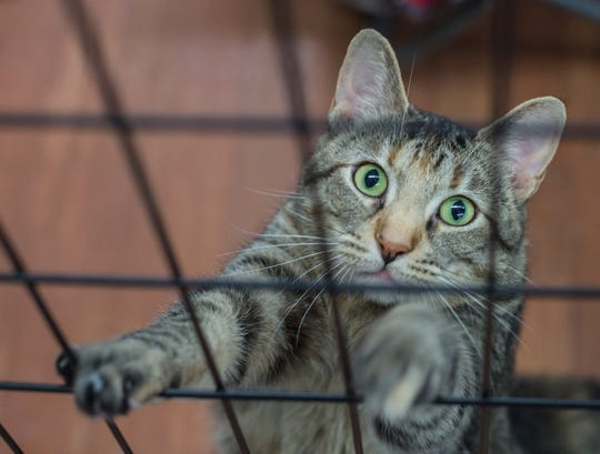 A cat awaiting adoption at H.E.L.P. the Animals is seen at the shelter on July 24, 2018