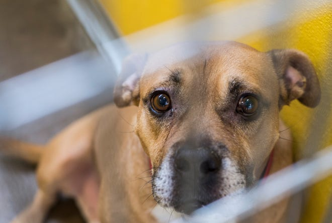 A dog awaits adoption at a local animal shelter in this file photo.
