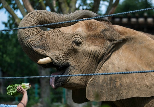 Mikki, an African elephant, gets fed during a training exercise.