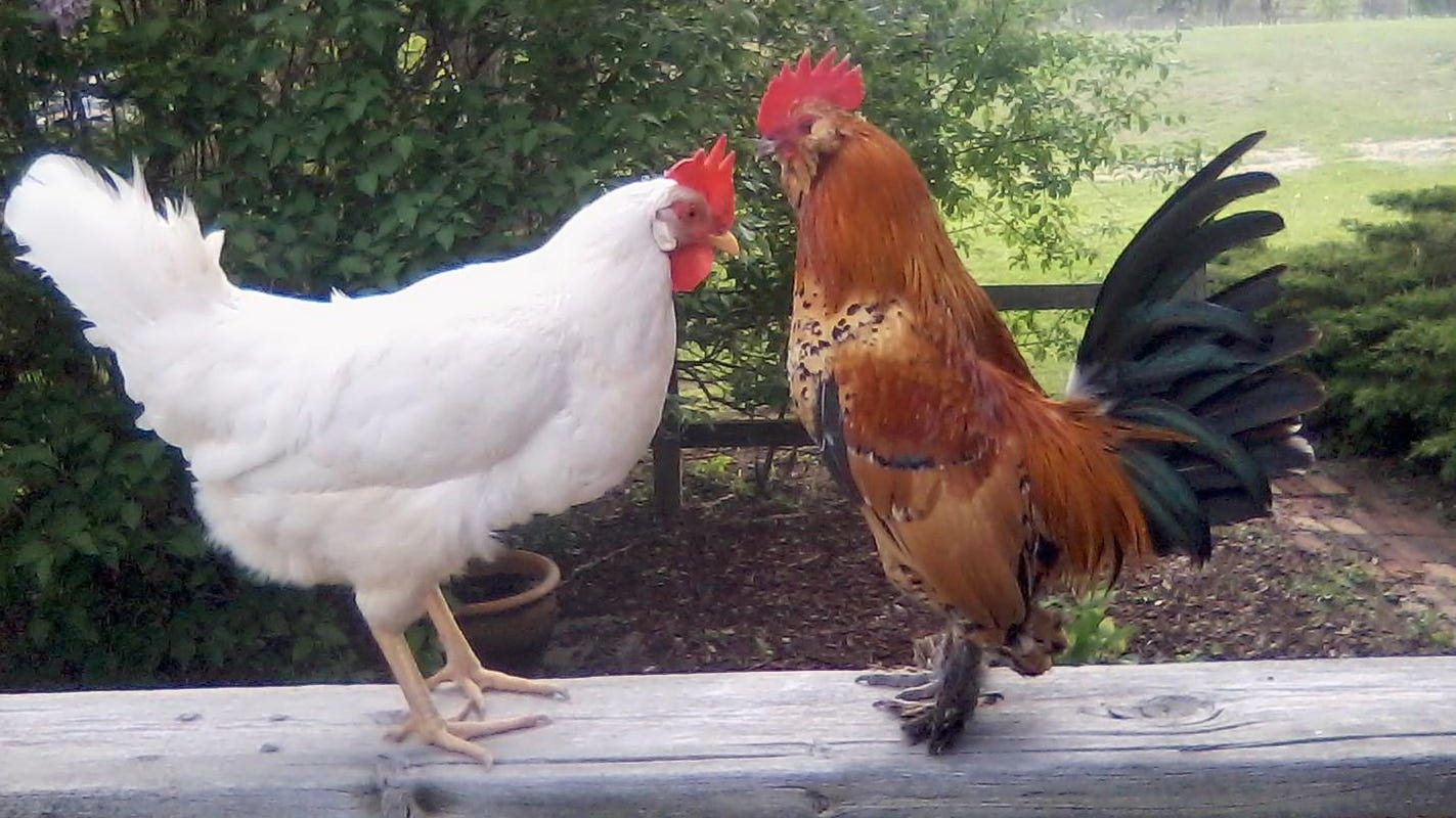 Backyard chickens are giving Tennesseans salmonella, CDC says