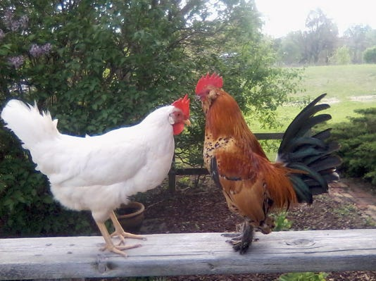 backyard_chickens